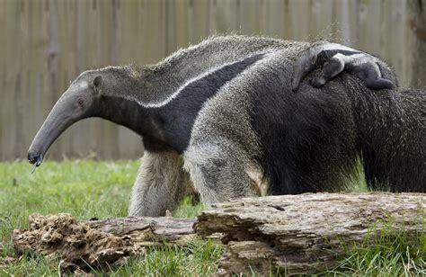 national zoos baby giant anteater   boy  baby
