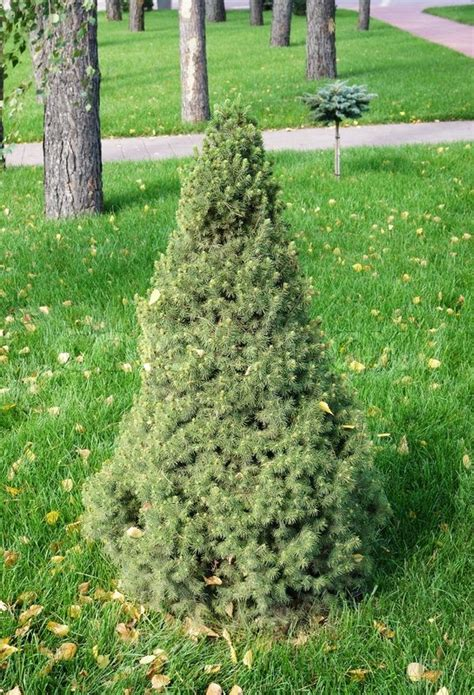 Small Ornamental Pine Trees for Landscaping