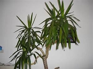 Yucca Palme Blüht : yuccapalme probleme mit den bl ttern ~ Lizthompson.info Haus und Dekorationen