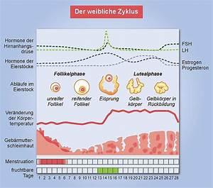 Den weiblichen Zyklus, Eisprung und die Periode verstehen