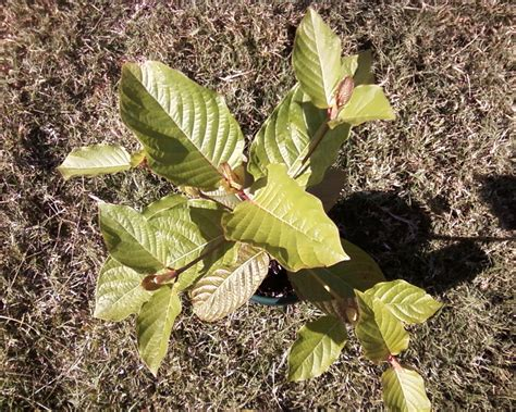 kratom plants for sale kratom plants for sale at