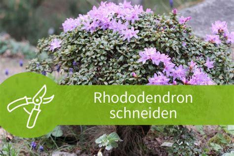 Wann Kann Rhododendron Schneiden by Rhododendron Schneiden 3 Schnitte F 252 R Den Bl 252 Tenstrauch
