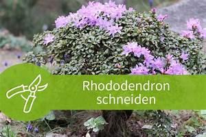 Wann Blüht Der Rhododendron : rhododendron schneiden 3 schnitte f r den bl tenstrauch ~ Eleganceandgraceweddings.com Haus und Dekorationen