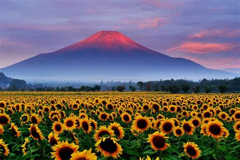 sunflower  red fuji awesome japan   mount