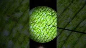 Plasmolysis Of An Elodea Plant Cell