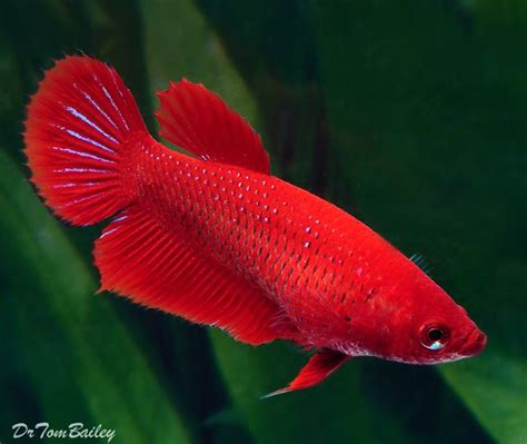 best images about you betta work it on 17 best images about betta fish on the family 17