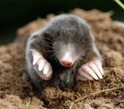 Mole (animal)  The Animals Biography
