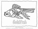 Goldfish Blank Goldfisch álbuns Coloringhome sketch template