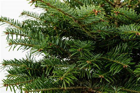 Abies nordmanniana Kaukāza baltegle - Ziemassvētku eglītes ...