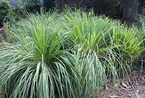 lemongrass landscaping low maintenance garden design ideas to reduce landscaping maintenance