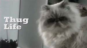 thug life cat MEMEs