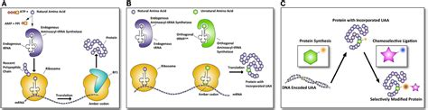 Steps, protein, synthesis, termination of, translation