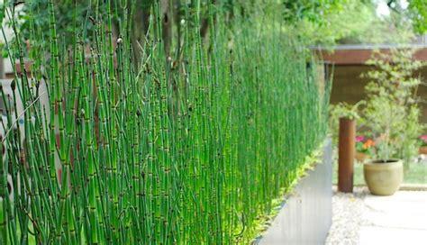 tanaman hias bambu air tanaman hias pembawa hoki