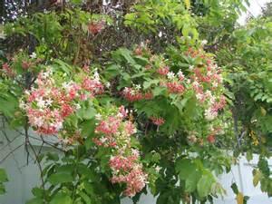vines flowering bangkok gardening flowers that thrive during thailand s hot dry season lat s gardening blog