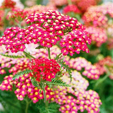 fall perennial flowers perennials flowers fall gardening guide sunset