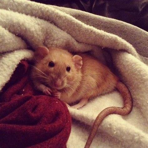 Cute Brown Rat