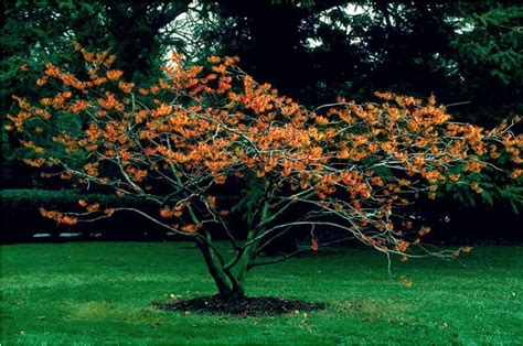 witch hazel tree beechwood landscape architecture and construction jelena witch hazel featured plant of the day