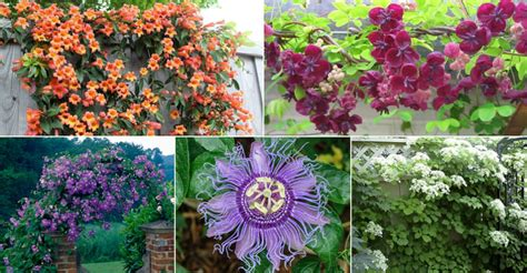 Top 5 Choices For Vines And Climbing Plants  World Of