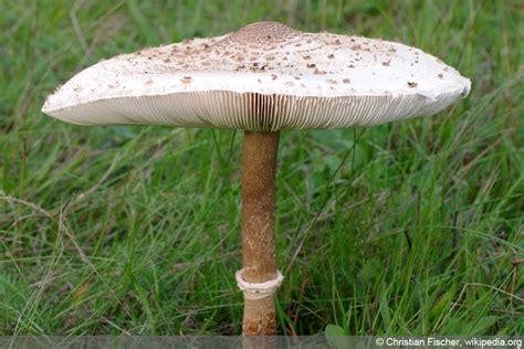 Parasol Pilze Im Garten by Parasolpilz Ist Er Giftig So Erkennen Sie Ihn Richtig