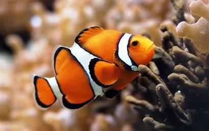 Clown Fish Wallpapers Desktop Clownfish Background Aquarium
