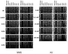 Spotting Growth Assay For Genotoxic Sensitivity  The Yeast