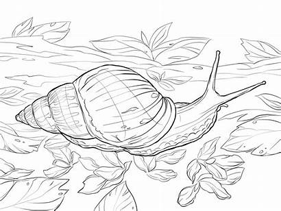 Snail Coloring Land Sea African Colorear Giant