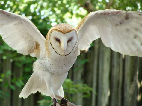 Barn Owl With Wings Spread By Shadowkorin-photos On Deviantart