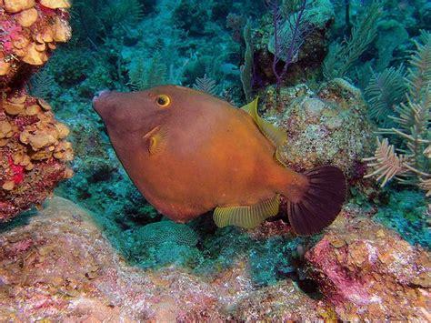Orange filefish, Belize Scuba Diving Photographs ...