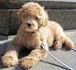 Big Non Hypoallergenic Dogs by Miniature Labradoodle Dog Info Temperament Puppies
