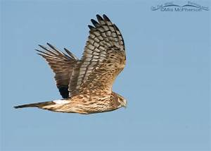 Female Northern Harrier ~ Friday Photos – Mia McPherson's ...
