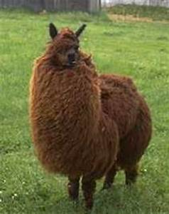1000+ images about Fluffy Llama's on Pinterest   Llamas ...