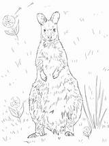 Coloring Wallaby Necked Drawing Printable Supercoloring Designlooter Kangaroos 73kb 1024px Categories sketch template