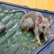 Produit Pour Tuer Les Rats : comment se d barrasser des rats ooreka ~ Voncanada.com Idées de Décoration