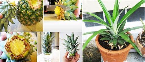 faire pousser d la en interieur comment faire pousser de l ananas chez vous