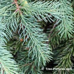 White Spruce Tree Needles