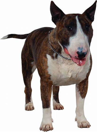 Dog Terrier Bull Dogs Puppy Breed Clipart