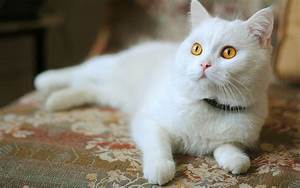 White cat with yellow eyes / 2560 x 1600 / Animals ...