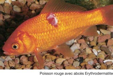 maladie des poissons rouges d aquarium 28 images aquariophilie eau douce poisson