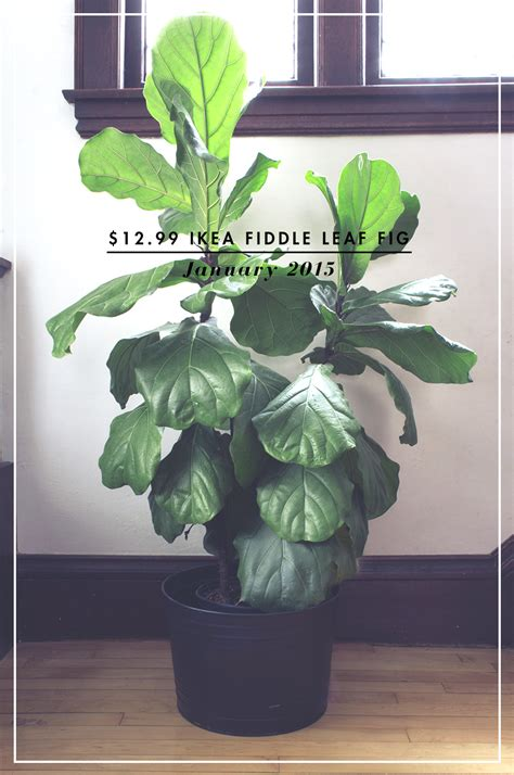 Not Killing A Fiddle Leaf Fig  Deuce Cities Henhouse