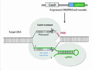 Schematic Illustration Of The Crispr  Cas9 System Structure