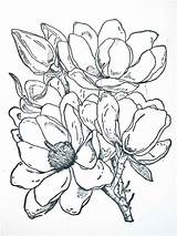Magnolia Coloring Flower Corner Flowers Magnolias Colored Drawings Tattoo Printable Happenings Frantic Stamper Colors Designlooter Ink Southern Recommended 1013 38kb sketch template
