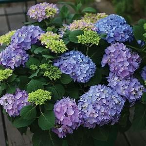 Hydrangea Macrophylla Winterhart : hydrangea macrophylla let 39 s dance rhythmic blue white ~ Michelbontemps.com Haus und Dekorationen