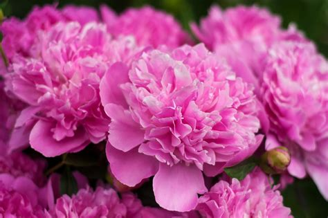 flower colors peony colors diy