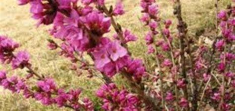 Zalktene Parastā /Daphne mezereum/ - Lapu koki, krūmi ...