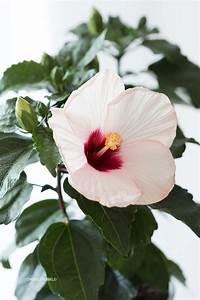 Hibiskus Hat Blattläuse Was Tun : hibiskus pflege hibiskus als zimmerpflanze das ist bei ~ Lizthompson.info Haus und Dekorationen