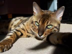 bengals cats the bengal cat blogs monitor