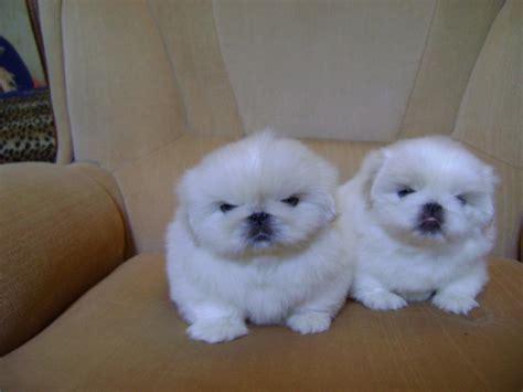 white pekingese puppies  sale puppies  sale dogs