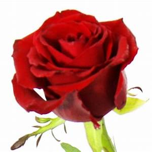 1 Rote Rose Bedeutung : einzelne rote rose einzelne rosen nach sorte blumenstr u e blumenversand ~ Whattoseeinmadrid.com Haus und Dekorationen