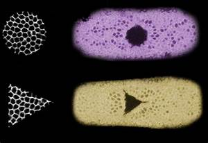 Light Beams Guide Growth Of Cells And Entire Tissues