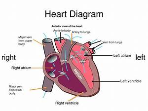 The Heart Diagrams Labeled And Unlabeled